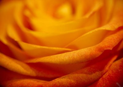 Chrystopher Robinson Photography--Rose Flower