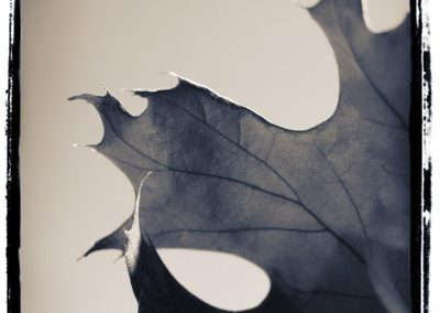 Chrystopher Robinson Photography--Maple Leaf 2